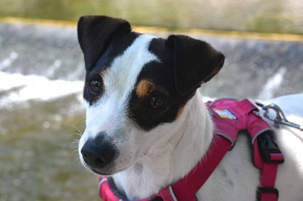 Jack Russell with harness
