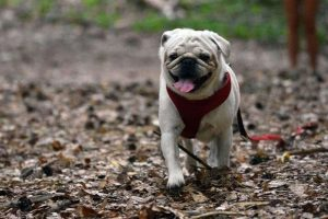 dog walking with leash